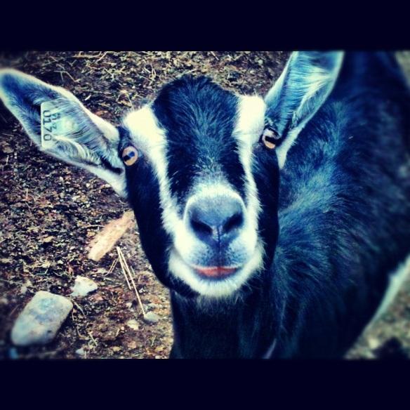 vermont_goat